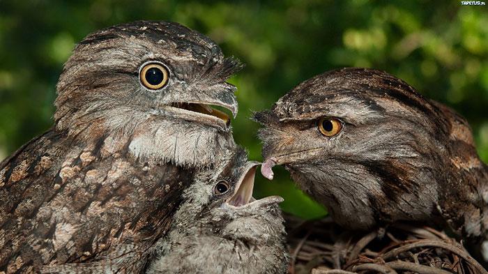 tawny-frogmouth-birds-25__700