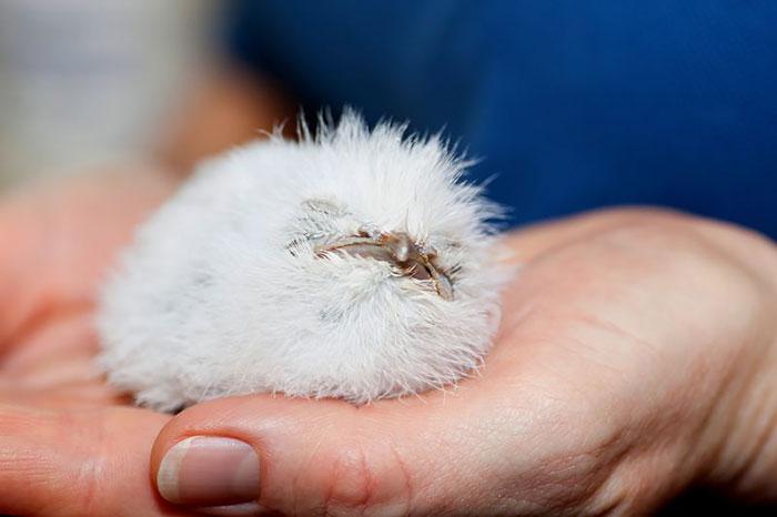 tawny-frogmouth-birds-28__700