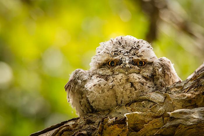 tawny-frogmouth-birds-32__700