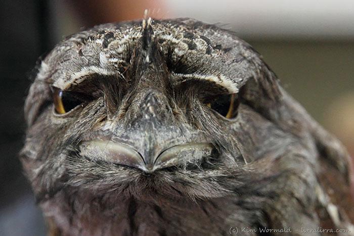 tawny-frogmouth-birds-40__700