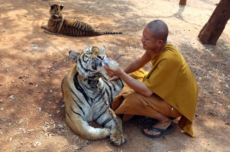 A Thai Buddhist monk feeds water to a tiger at the Tiger Temple, in Saiyok district in Kanchanaburi province, west of Bangkok, Thursday, February 12, 2015. Wildlife protection officials said on Thursday they found no mistreatment of the more than 100 tigers at the temple, one of the country's most popular destinations for foreign tourists. Famous for the iconic image of tame-looking big cats living with Buddhist monks, the temple has been accused of drugging the creatures to make them stay calm, an allegation the monks and the veterinarian who takes care of the animals, have denied. (Photo by Sakchai Lalit/AP Photo)