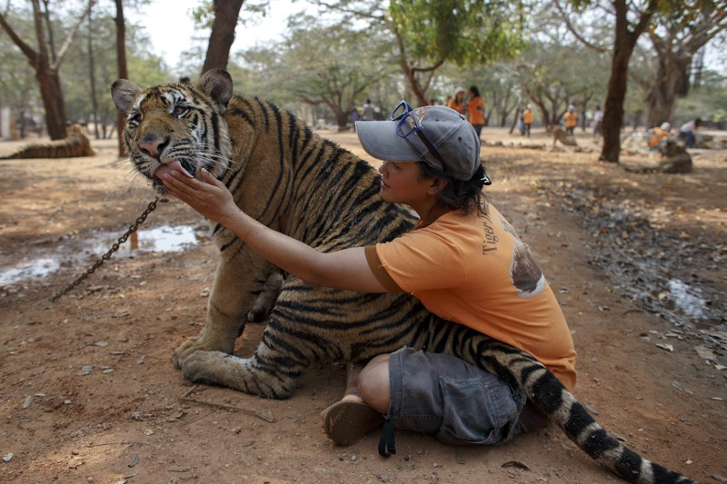 A volunteer plays with a tiger at the Wat Pa Luang Ta Bua, otherwise known as the Tiger Temple, in Kanchanaburi province February 12, 2015. (Photo by Athit Perawongmetha/Reuters)