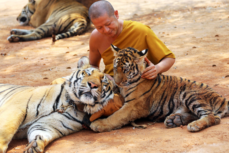 """A Thai Buddhist monk plays with tigers at the """"Tiger Temple,"""" in Saiyok district in Kanchanaburi province, west of Bangkok, Thursday, Feb. 12, 2015. Wildlife protection officials said on Thursday they found no mistreatment of the more than 100 tigers at the temple, one of the country's most popular destinations for foreign tourists. Famous for the iconic image of tame-looking big cats living with Buddhist monks, the temple has been accused of drugging the creatures to make them stay calm, an allegation the monks and the veterinarian who takes care of the animals, have denied. (AP Photo/Sakchai Lalit)"""