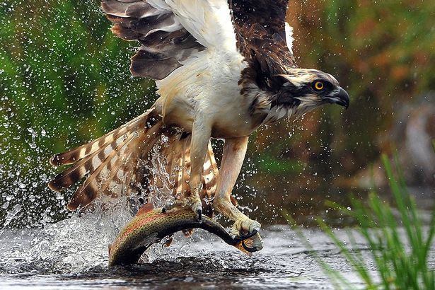 PAY-An-osprey-fishing-in-the-Scottish-Cairngorms (1)