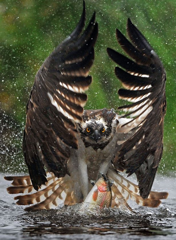 PAY-An-osprey-fishing-in-the-Scottish-Cairngorms (2)