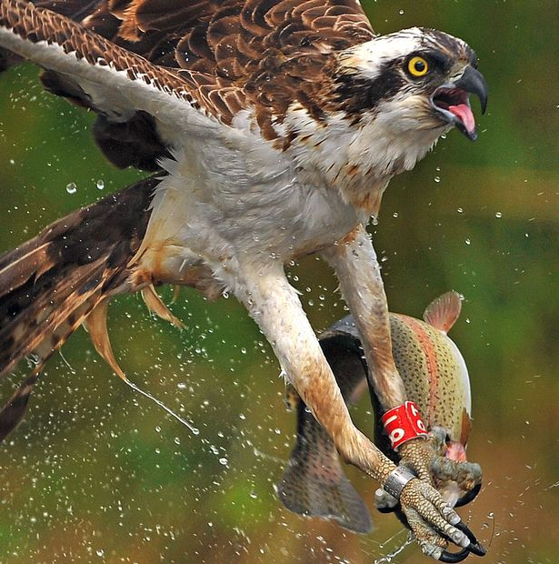 PAY-An-osprey-fishing-in-the-Scottish-Cairngorms (3)