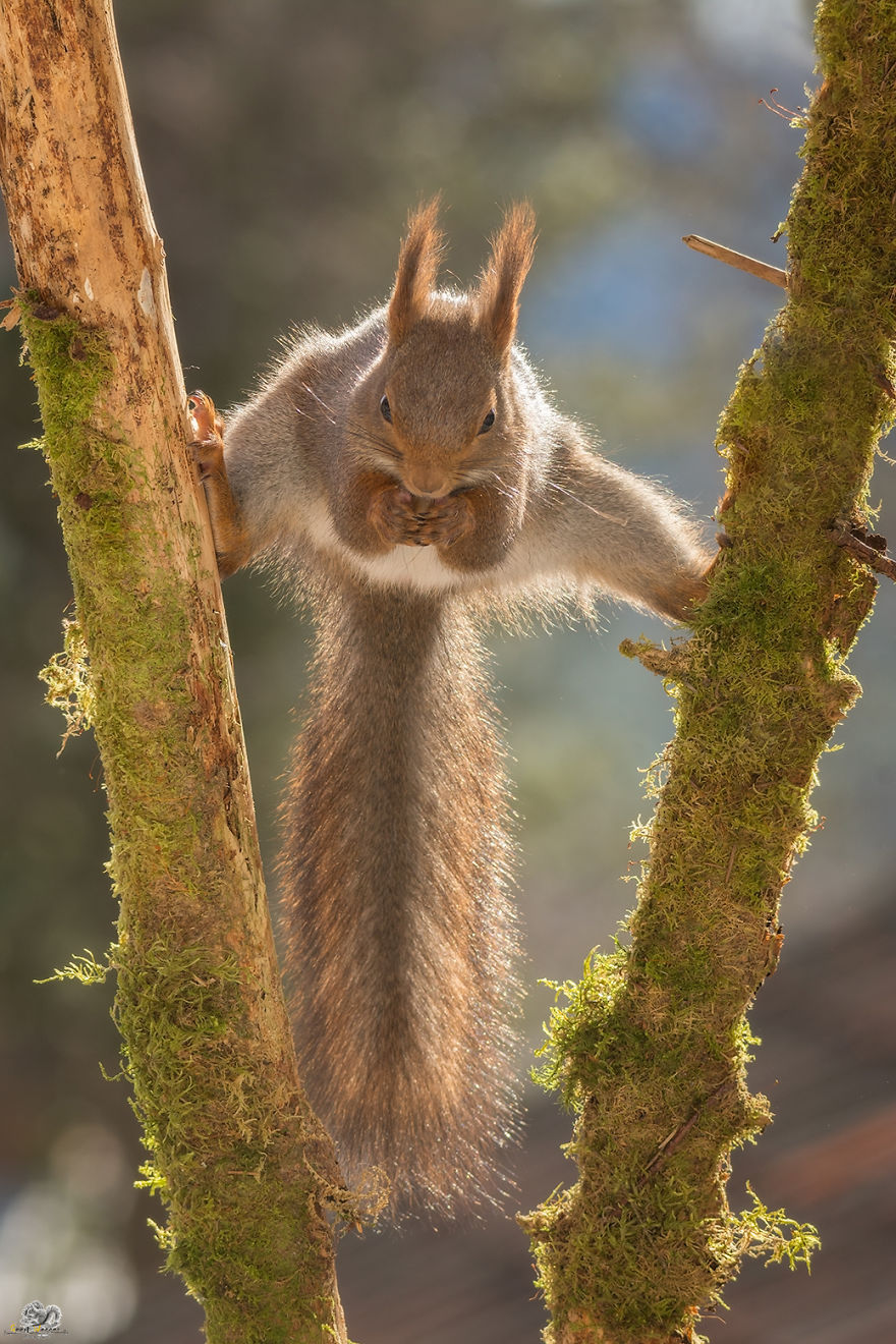 Photos-of-red-squirrels-spreading-their-legs-570f4ce397bf6__880