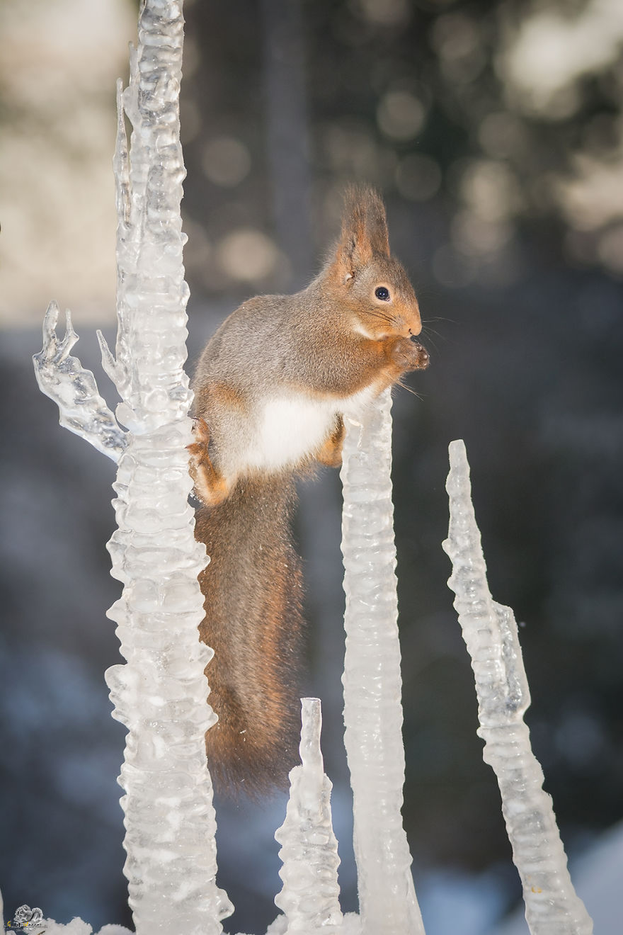 Photos-of-red-squirrels-spreading-their-legs-570f4ceb1e216__880