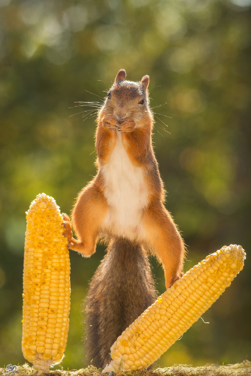 Photos-of-red-squirrels-spreading-their-legs-570f4cf127dea__880