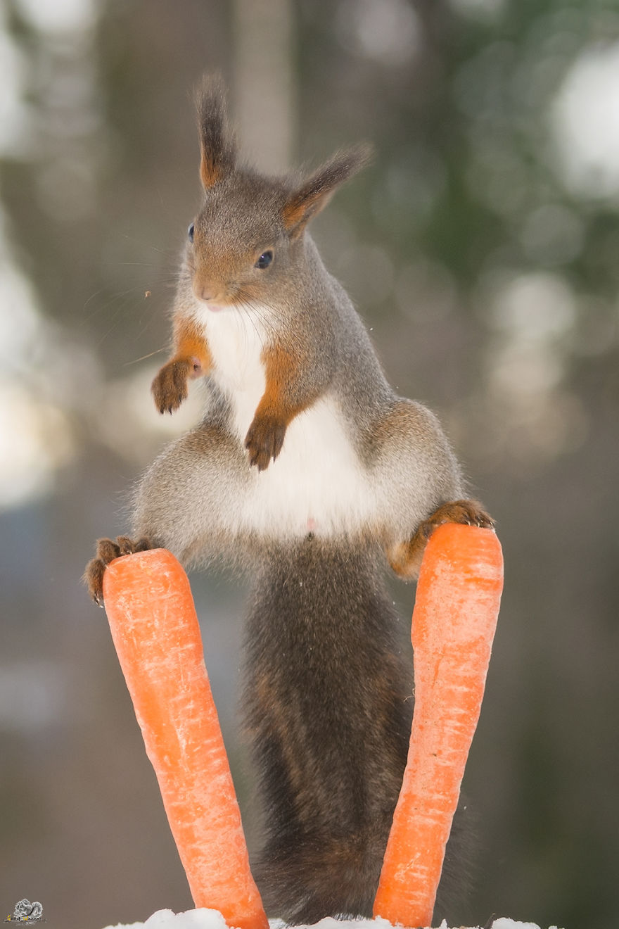 Photos-of-red-squirrels-spreading-their-legs-570f4d063e278__880