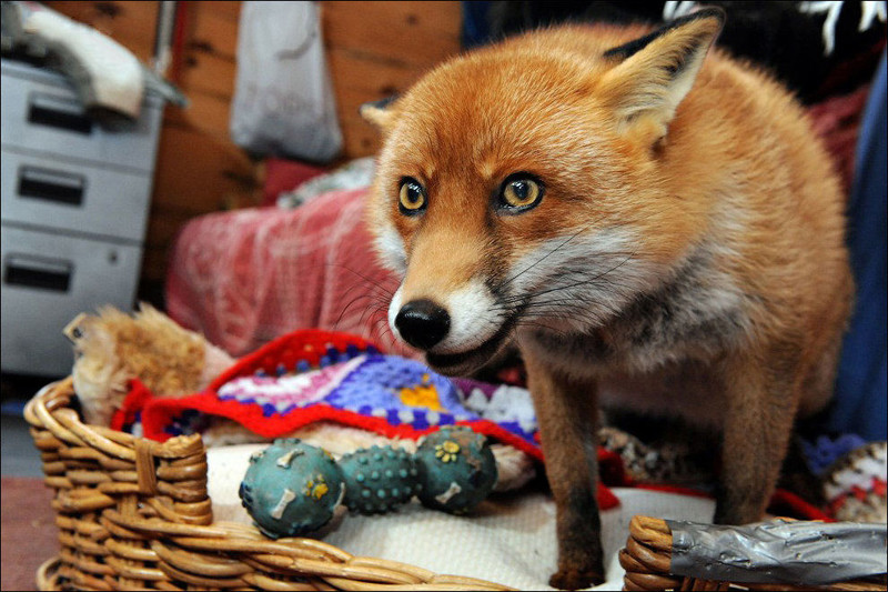 pet-fox-is-just-one-of-the-family-09
