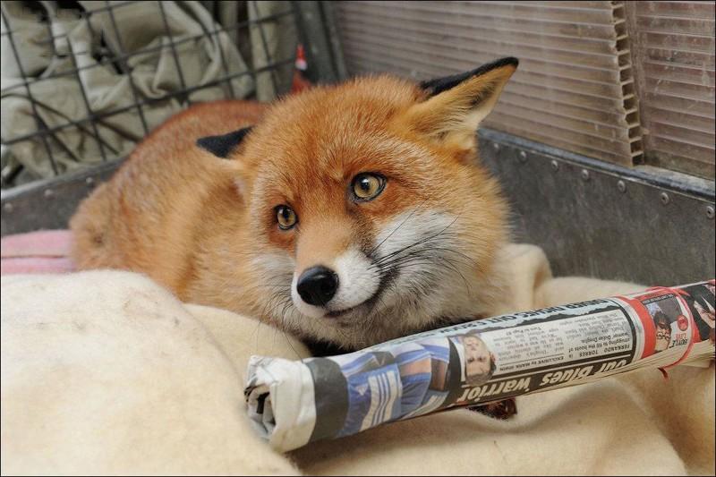 pet-fox010