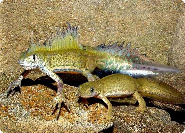 triturus-vittatus-ophryticus-1540