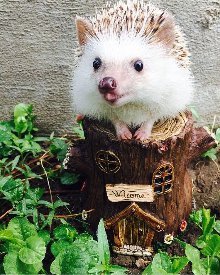 vampire-hedgehog-fangs-hodge-huffington-35