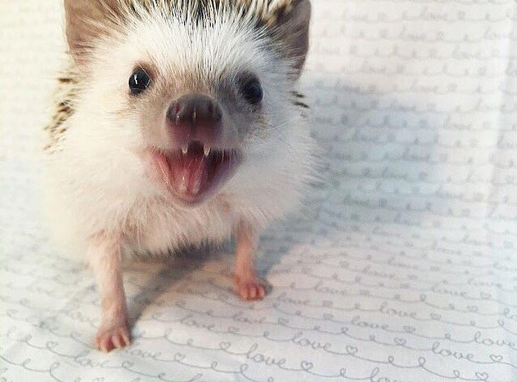 vampire-hedgehog-fangs-hodge-huffington-36