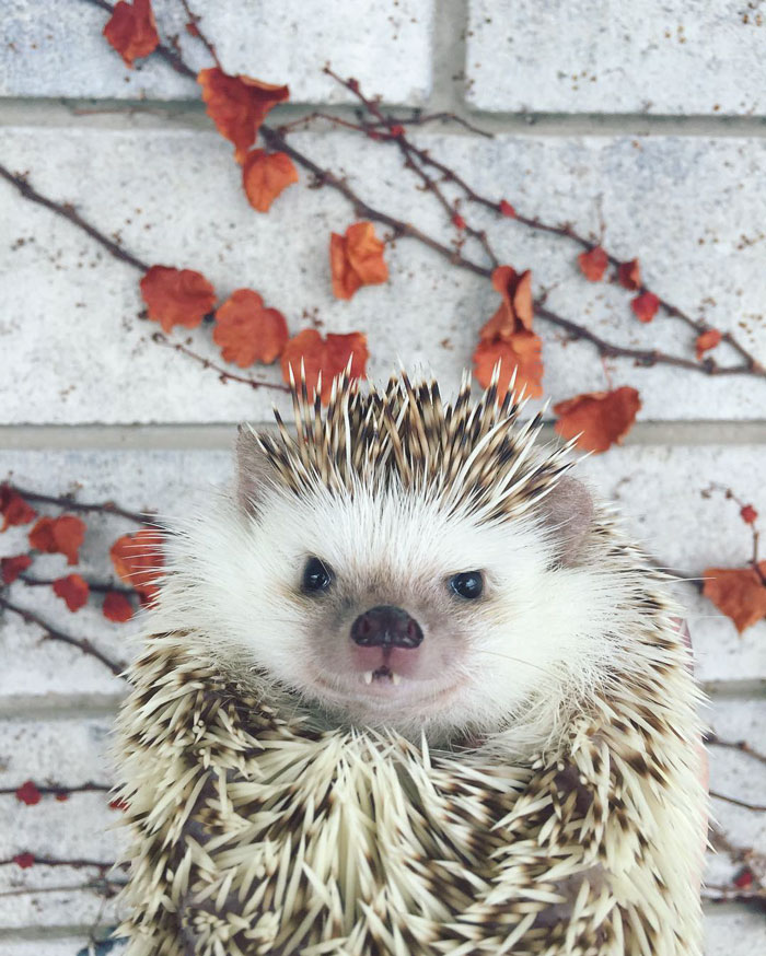 vampire-hedgehog-fangs-hodge-huffington-41