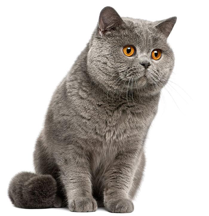 British_shorthair_cat_6