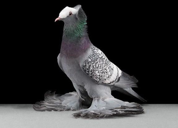 domashniy-golub-22