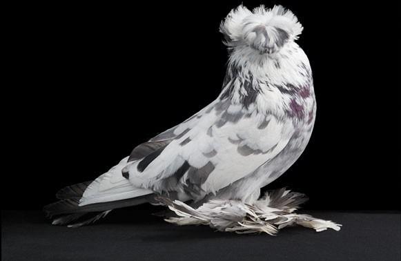 domashniy-golub-29