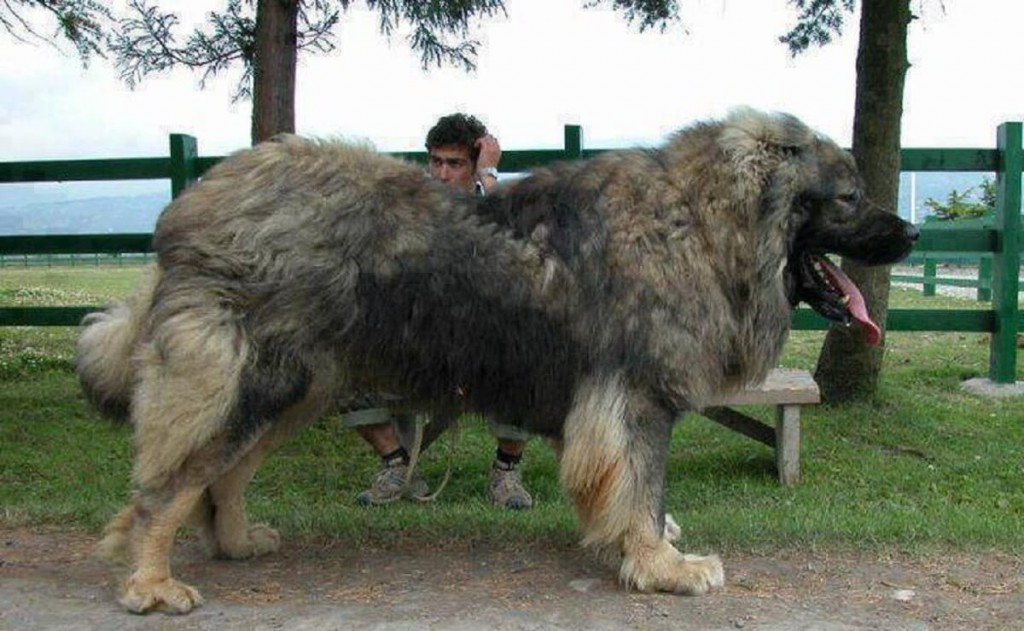 Animal-Planet-Caucasian-Shepherd-1-1024x631