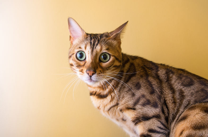 emotions_portrayed_by_cats_08