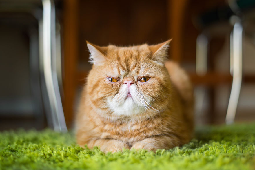 emotions_portrayed_by_cats_09