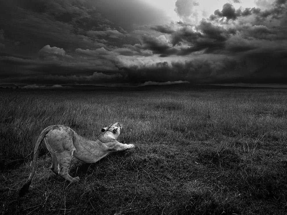 masai-lioness-stretch_95185_990x742