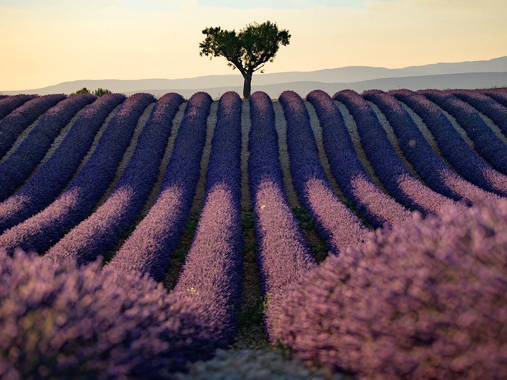 provence-lavender_95162_990x742