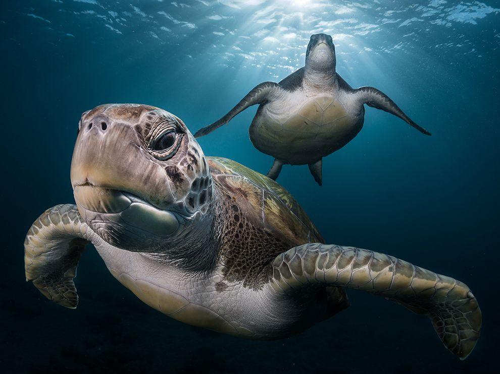 tenerife-green-turtles_95203_990x742
