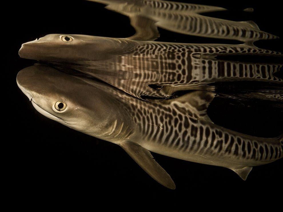 tiger-shark-pup_95157_990x742