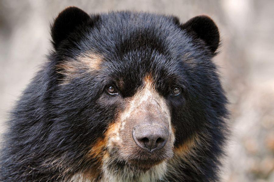 Ochkovyiy-medved