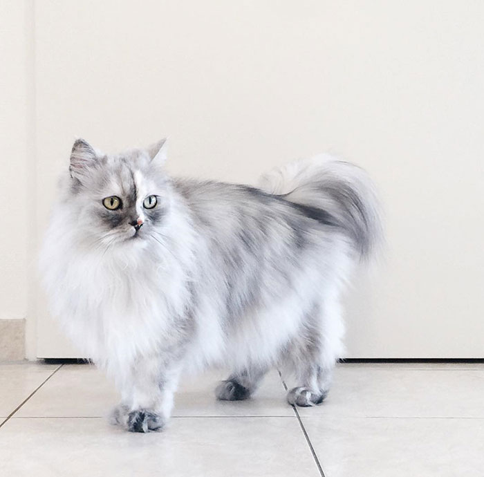 adopted-cat-fur-persian-halloalice-30-1