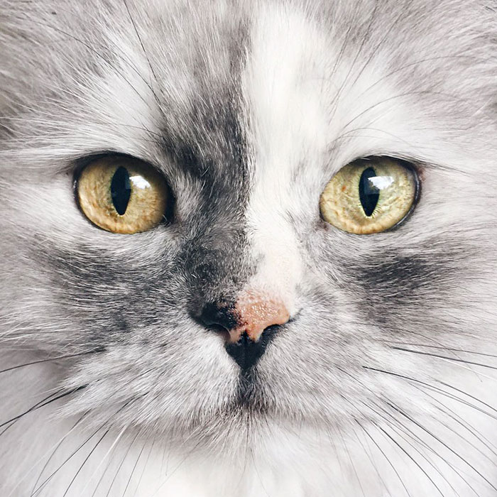 adopted-cat-fur-persian-halloalice-43