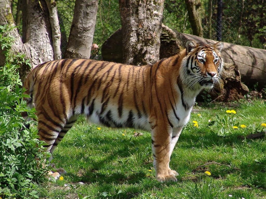 amurskiy_tigr