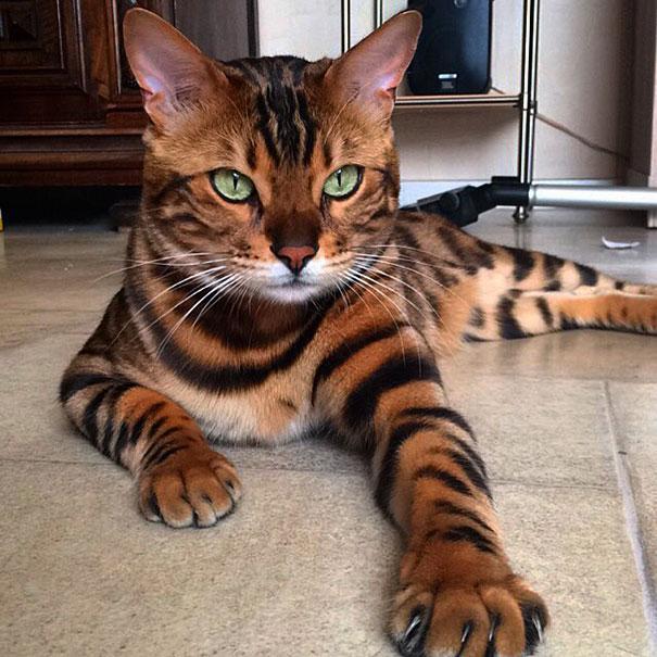 bengal-cat-spots-fur-thor-5