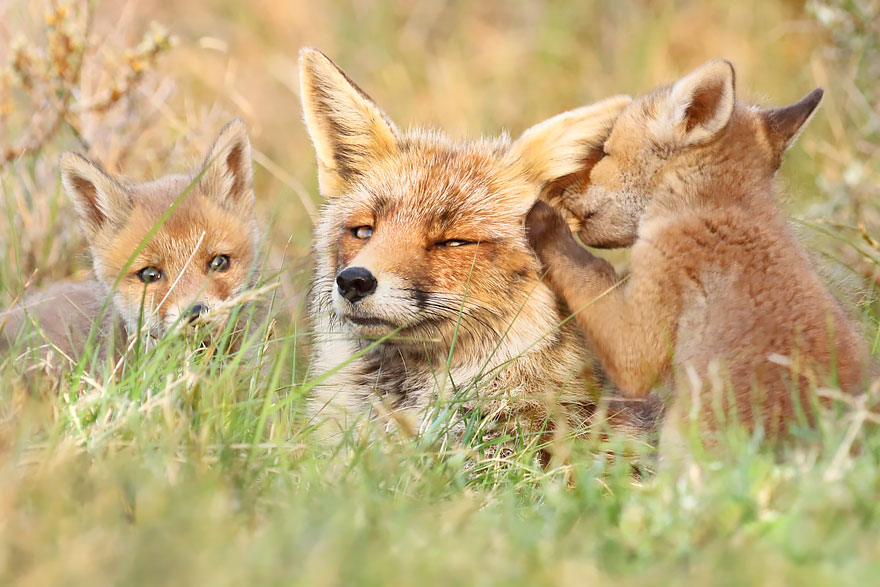 fox-photography-joke-hulst-10