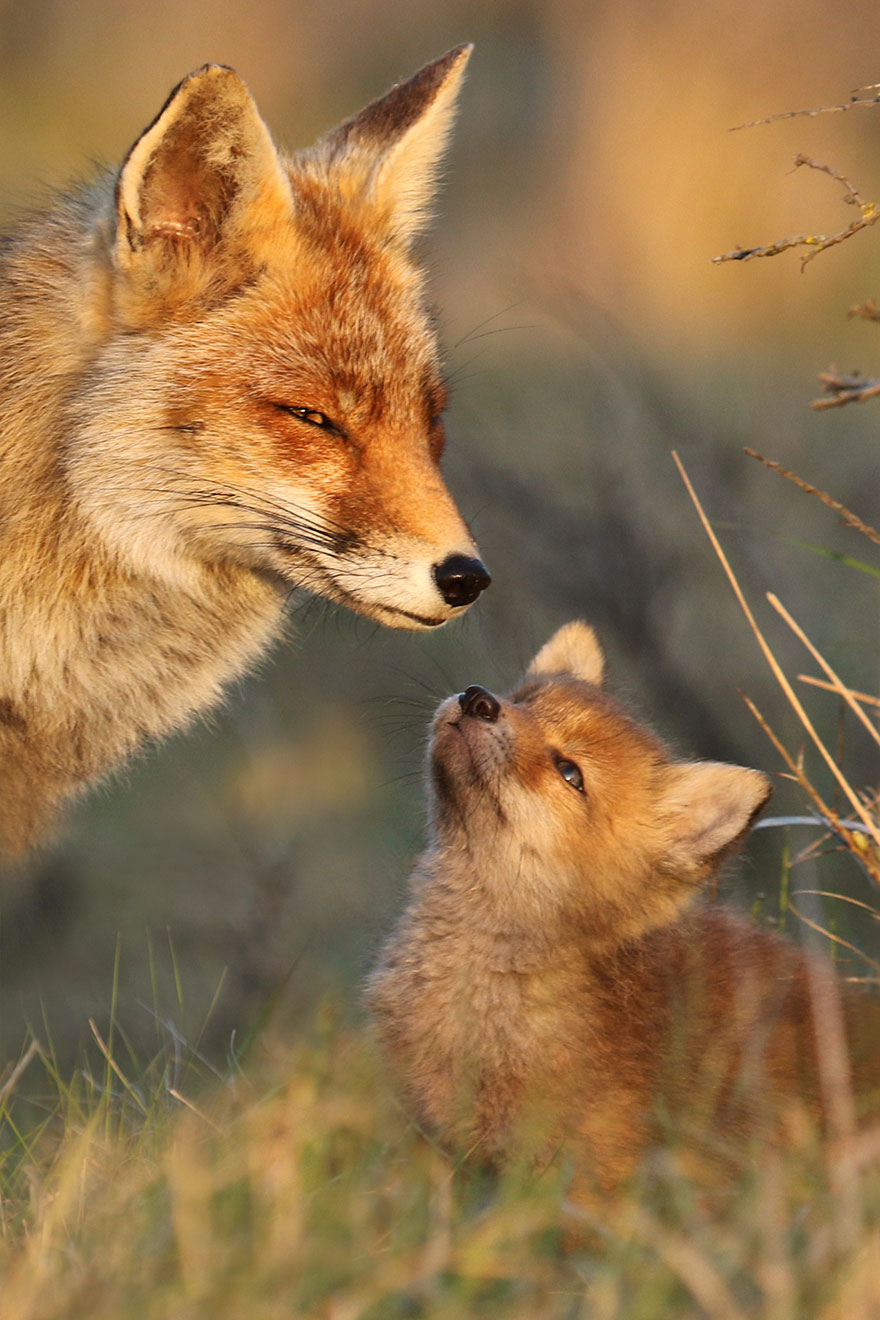 fox-photography-joke-hulst-11