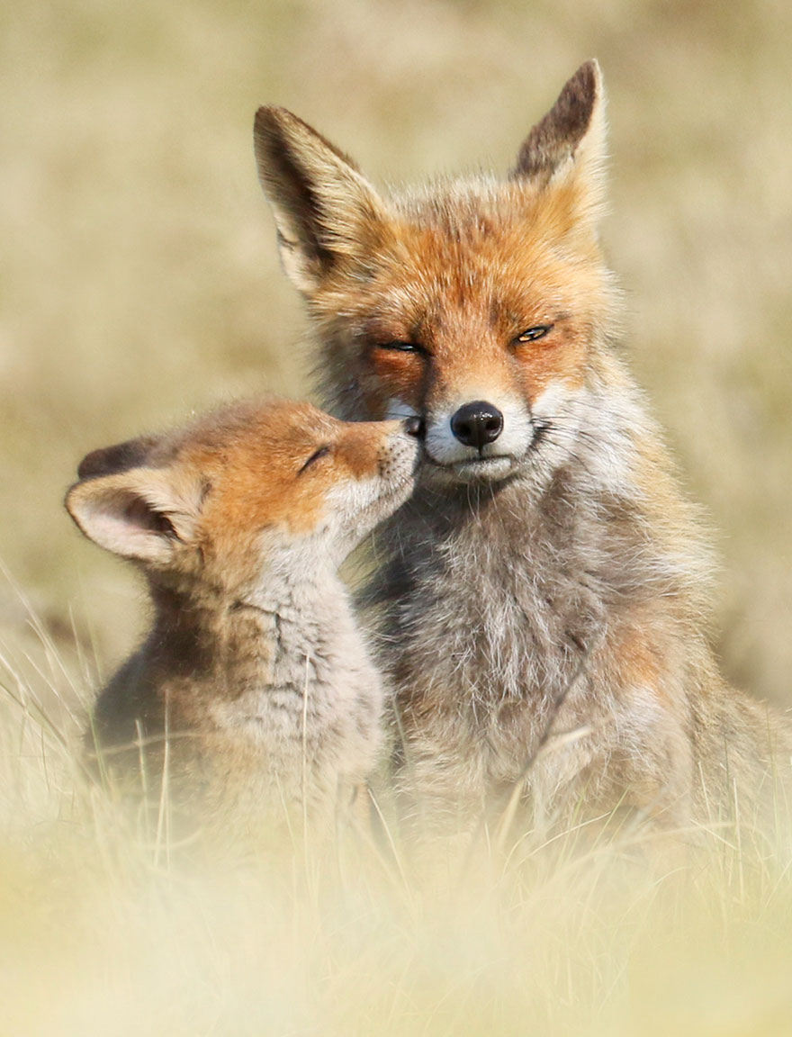 fox-photography-joke-hulst-13