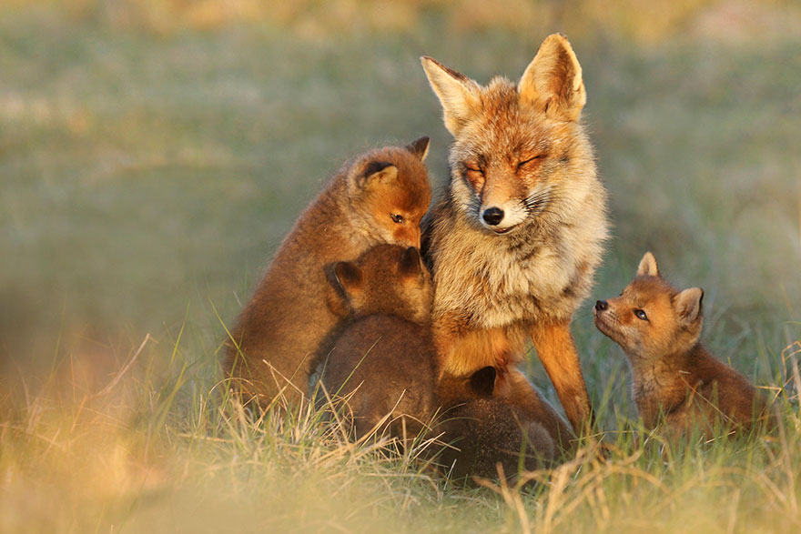 fox-photography-joke-hulst-14