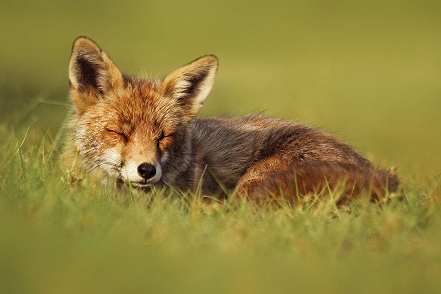 fox-photography-joke-hulst-3