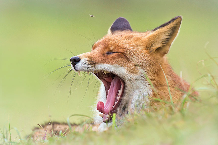 fox-photography-joke-hulst-5