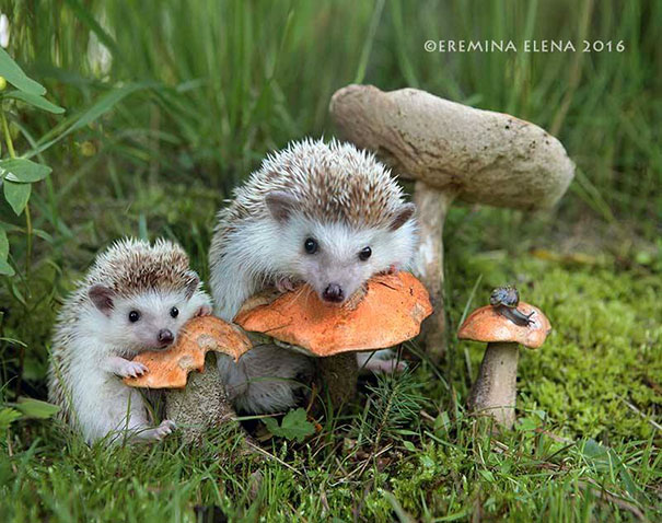 hedgehogs-photography-elena-eremina-24-57b187d0828c8__605