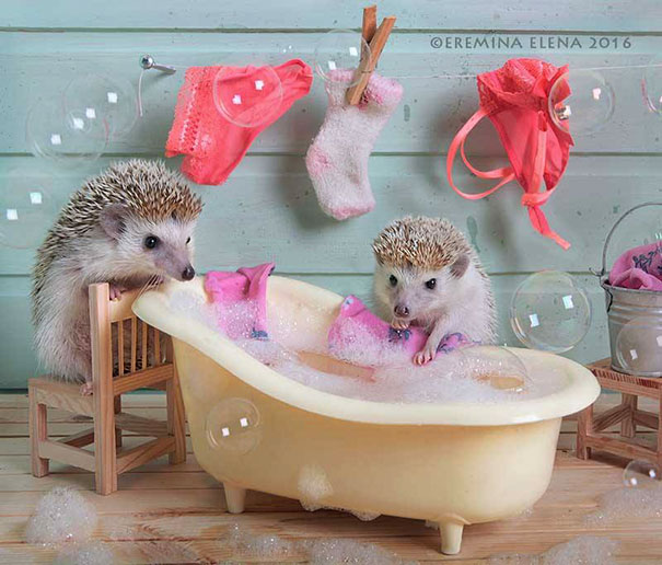 hedgehogs-photography-elena-eremina-27-57b187d76bb1b__605