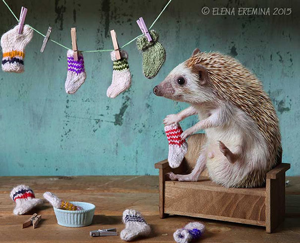 hedgehogs-photography-elena-eremina-2a-57b1ae5571097__605