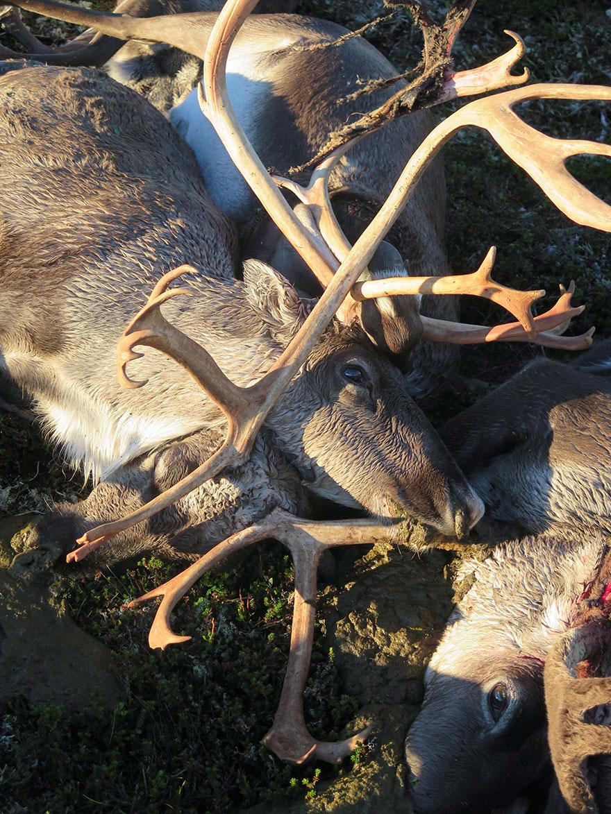 lightning-strike-kills-323-reindeer-norway-03