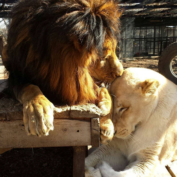 rescue-lions-love-kahn-sheila-in-sync-exotics-18