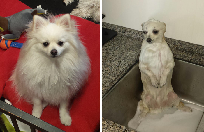wet-dogs-before-after-bath-42-57a439cb7c0bb__700