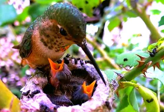 78-fakty-o-kolibri-4
