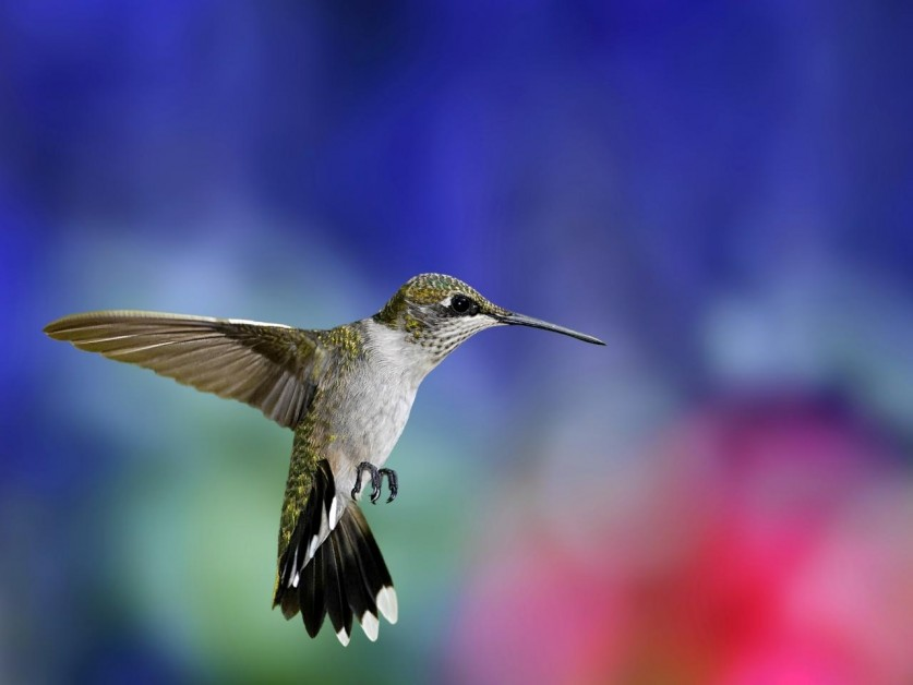 photos-of-hummingbird-04
