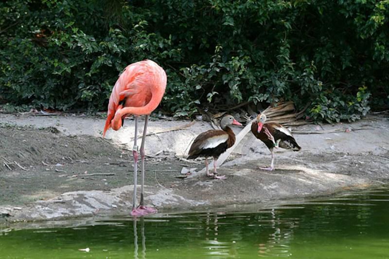 ducks-pretend-flamingos-vinegret-10